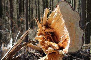 Symbolbild: Ahornwald bei Lich muss vollständig gerodet werden