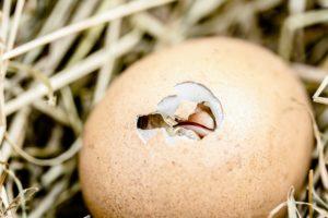 Symbolbild: Töten von männlichen Küken bleibt bestehen