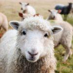 Symbolbild: Schaf an der Tankstelle