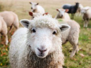 Symbolbild: Hannibal: Wenn Schafe tanken